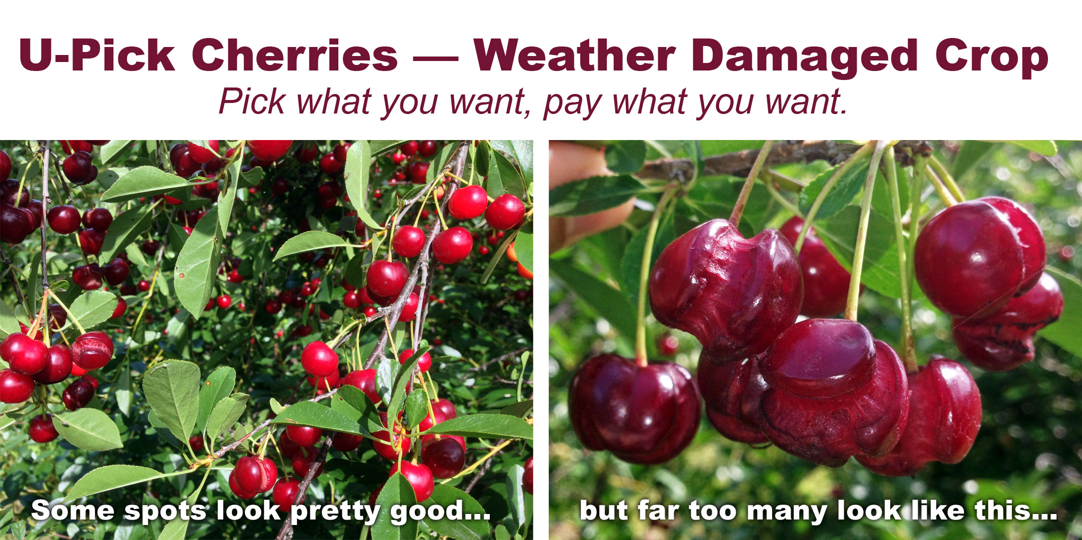 U-Pick Cherries — Weather Damaged Crop // Pick what you want, pay what you want.